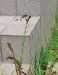 我が家の雑草にとまるトンボ