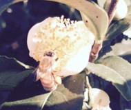 茶の木の花を訪れる 蜂